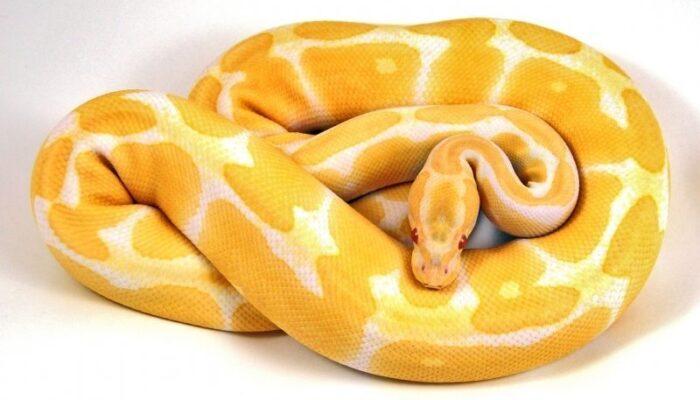 Image of Albino Ball Python
