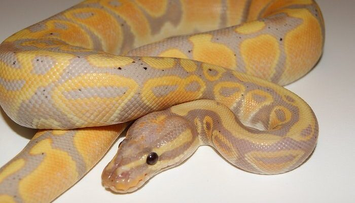 Image of Banana Ball Python