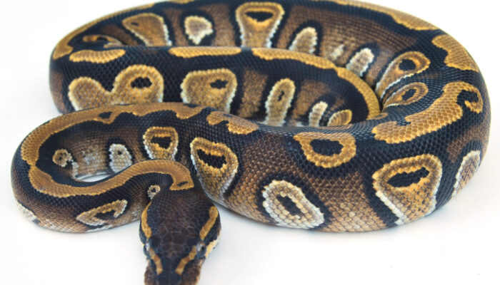 Image of Barista (Mojave Cafe) Ball Python
