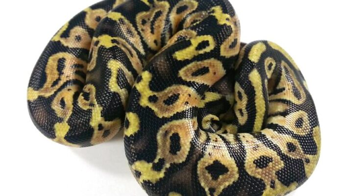 Image of Decal (Pastel Cafe) Ball Python
