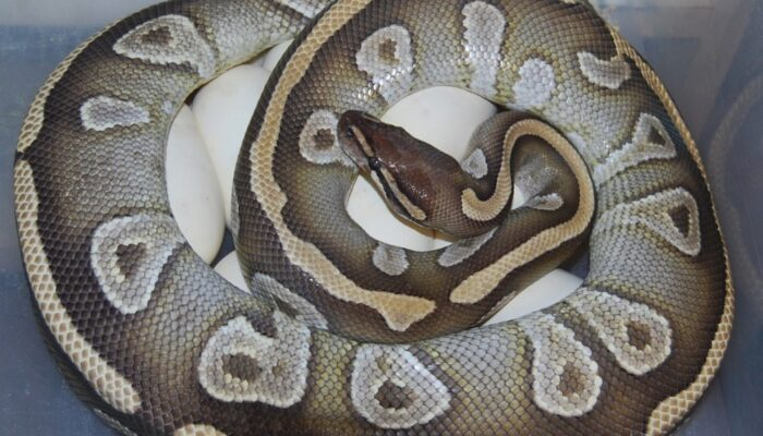 Image of Mojave Ball Python on Eggs