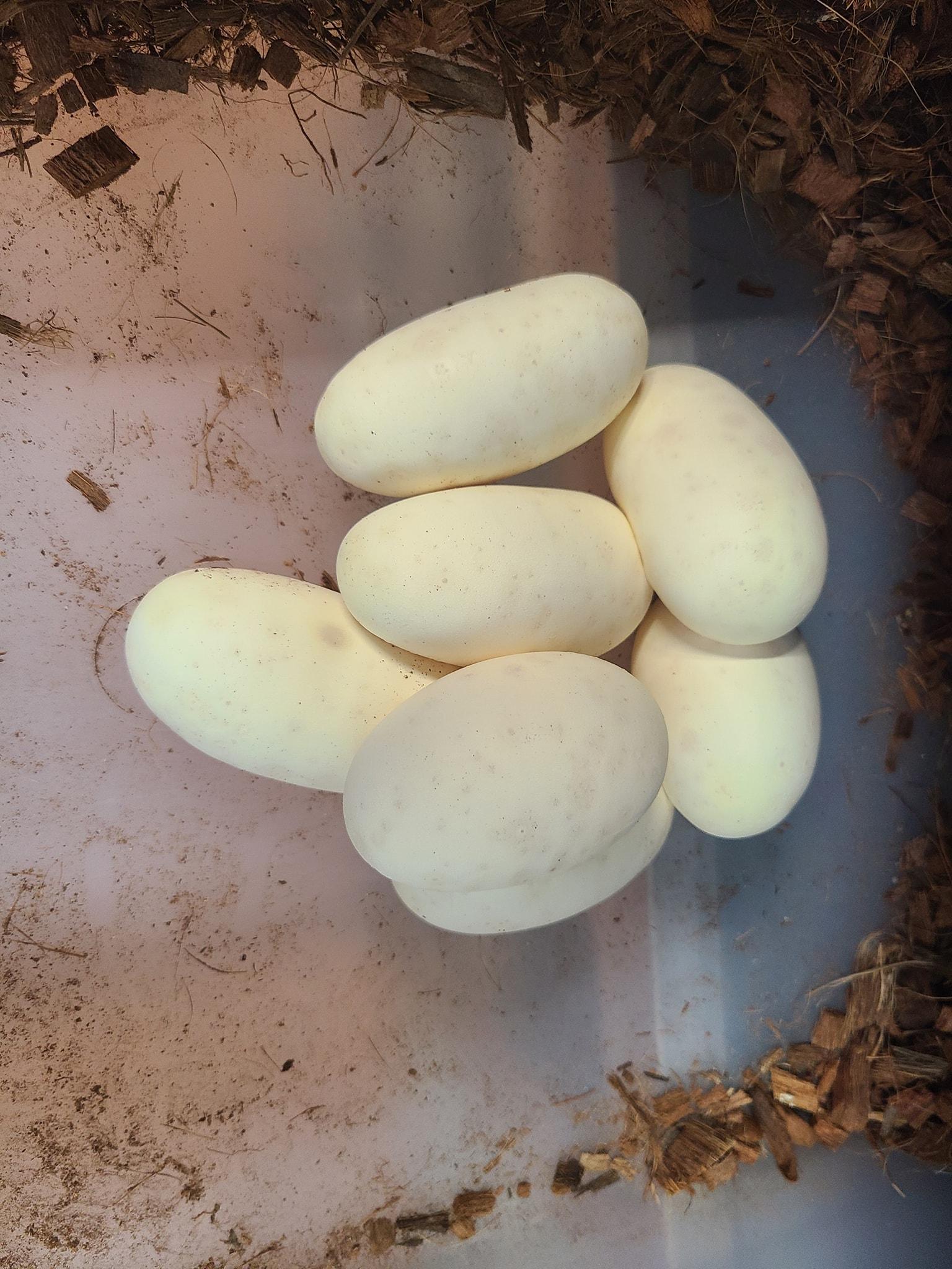 Image of Ball Python Eggs