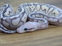 New Male:  Fire Sterling Scaleless