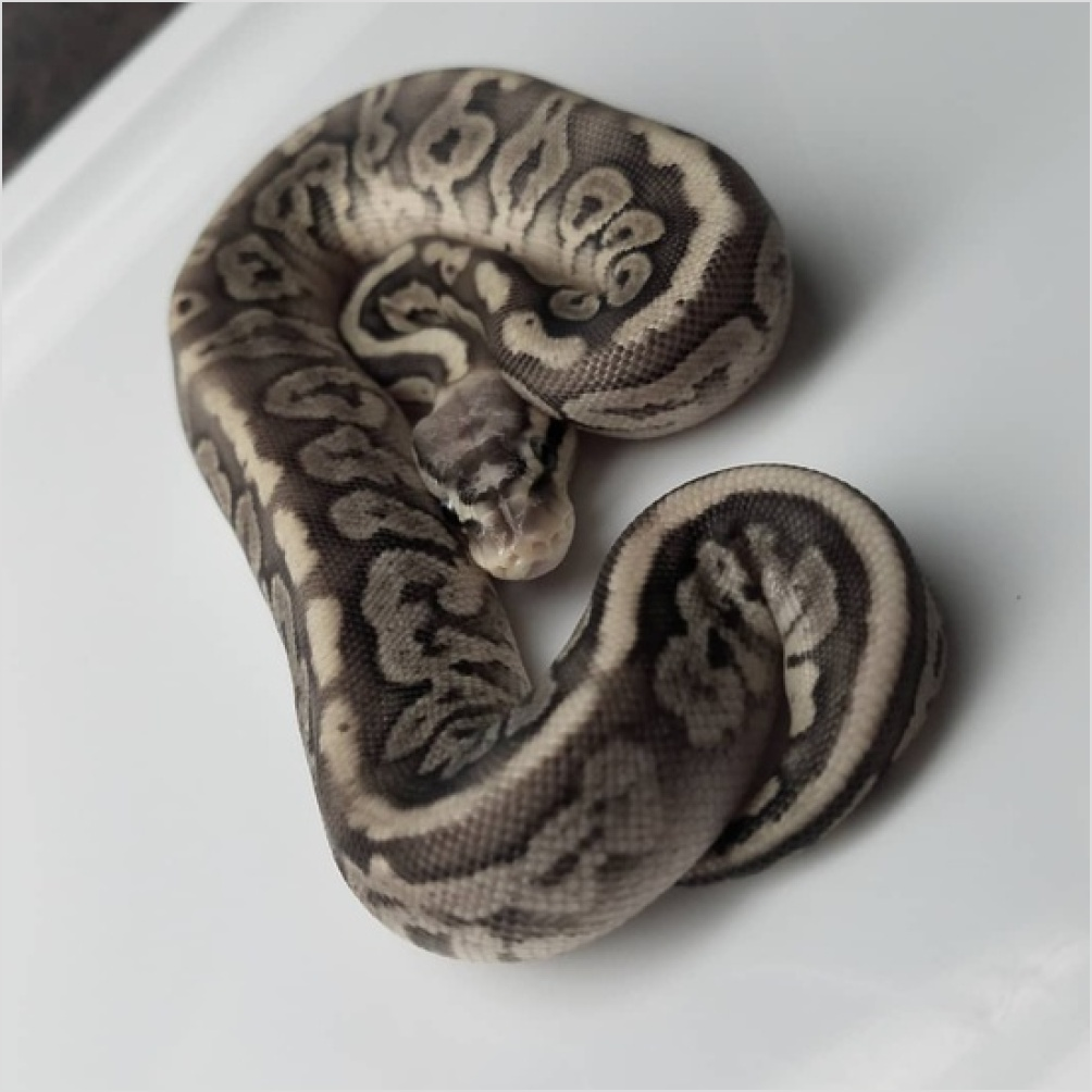 Image of Fire Black Pewter Scaleless Head Het Piebald, Het Orange Ghost ball python